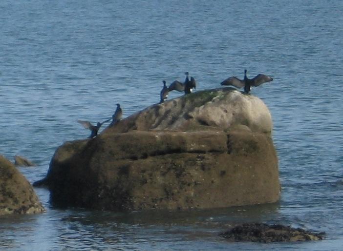 cormorans beg meil
